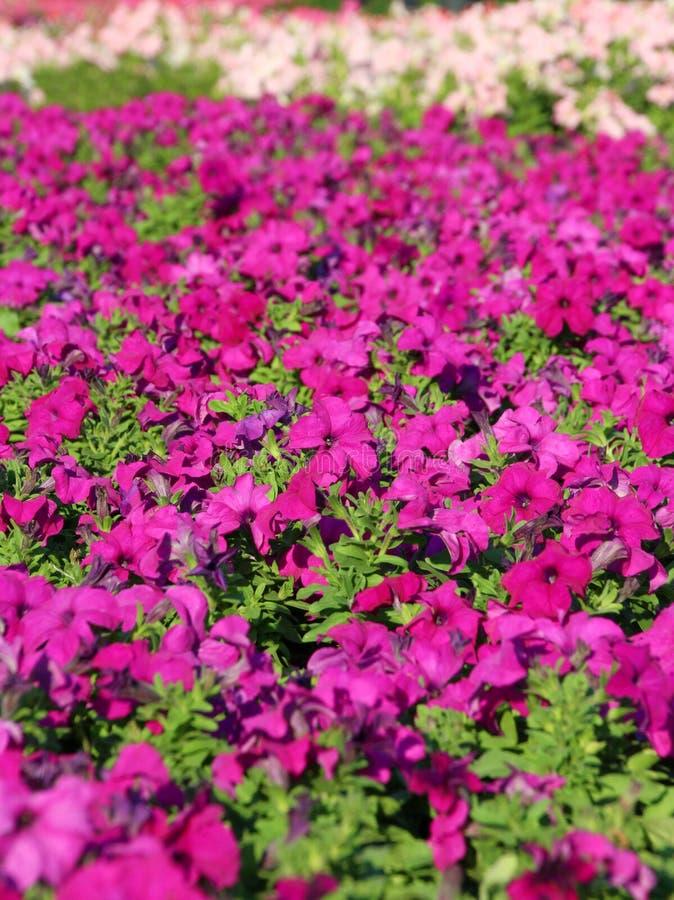 Flor de la petunia imagenes de archivo