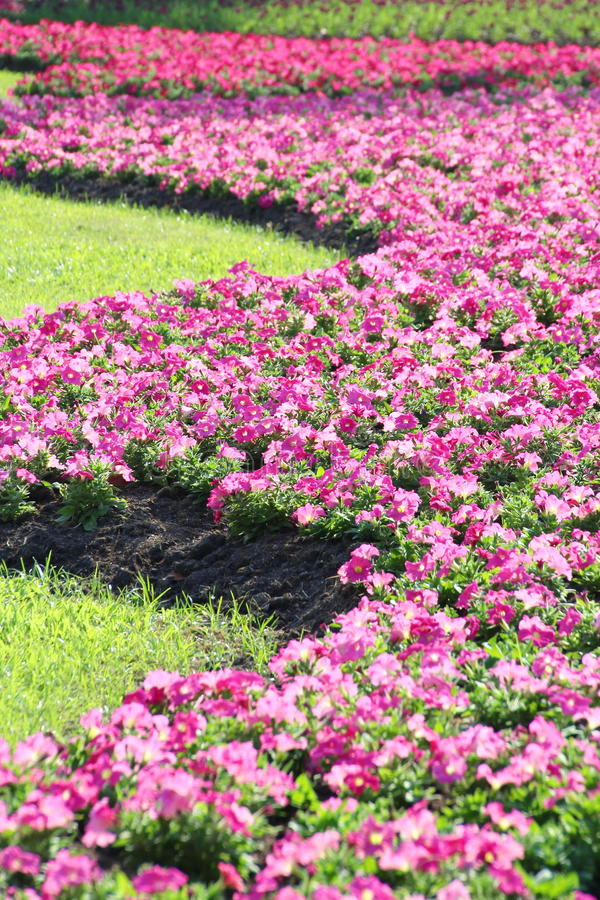 Flor de la petunia fotografía de archivo