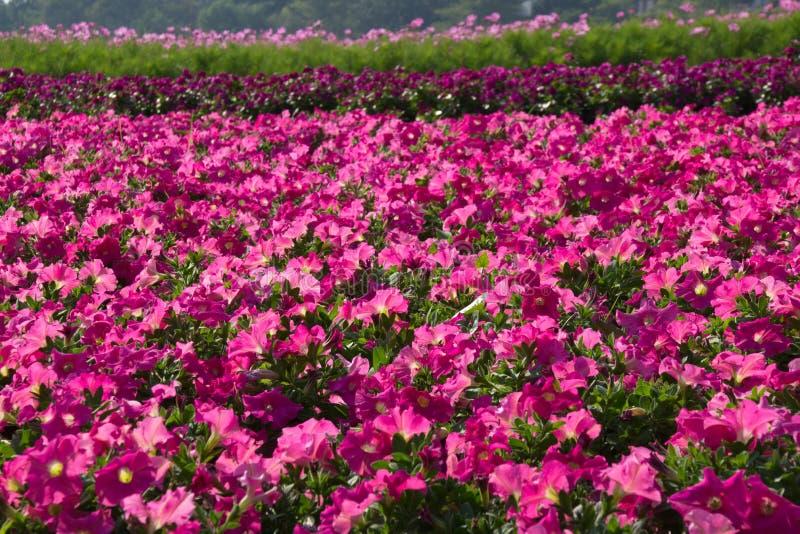 Flor de la petunia imágenes de archivo libres de regalías