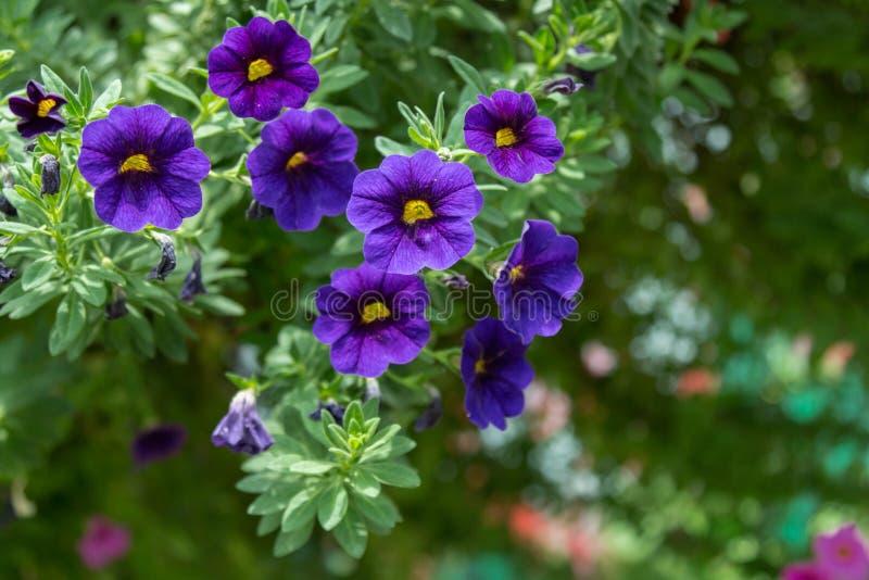 Flor de la petunia en el jardín, el fondo de la naturaleza o el papel pintado imagen de archivo libre de regalías