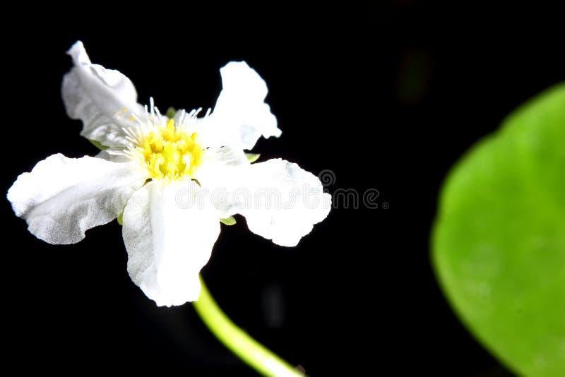 Flor de la pista de Lili imagen de archivo libre de regalías