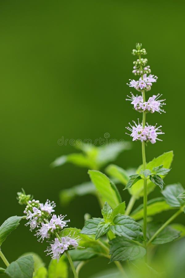 Flor de la planta de la menta verde (spicata del Mentha) foto de archivo libre de regalías