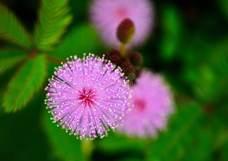 Flor de la planta sensible fotografía de archivo