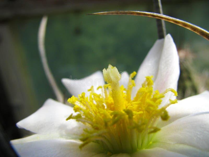 Flor de la planta Tefrocactus articulatus var papiracanthus, con aumento imágenes de archivo libres de regalías