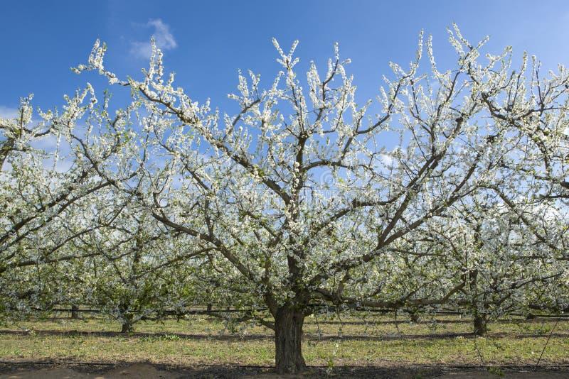 Flor de la plantación de la pera, España imágenes de archivo libres de regalías