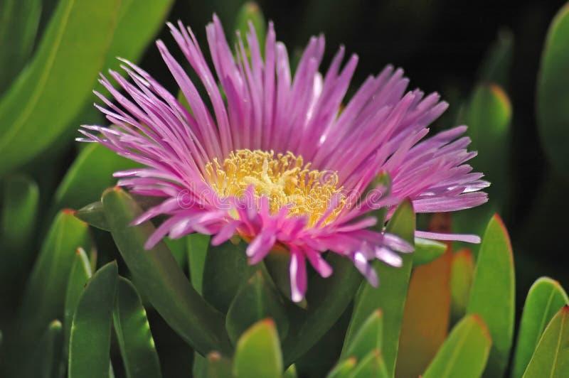 Flor de la playa foto de archivo libre de regalías