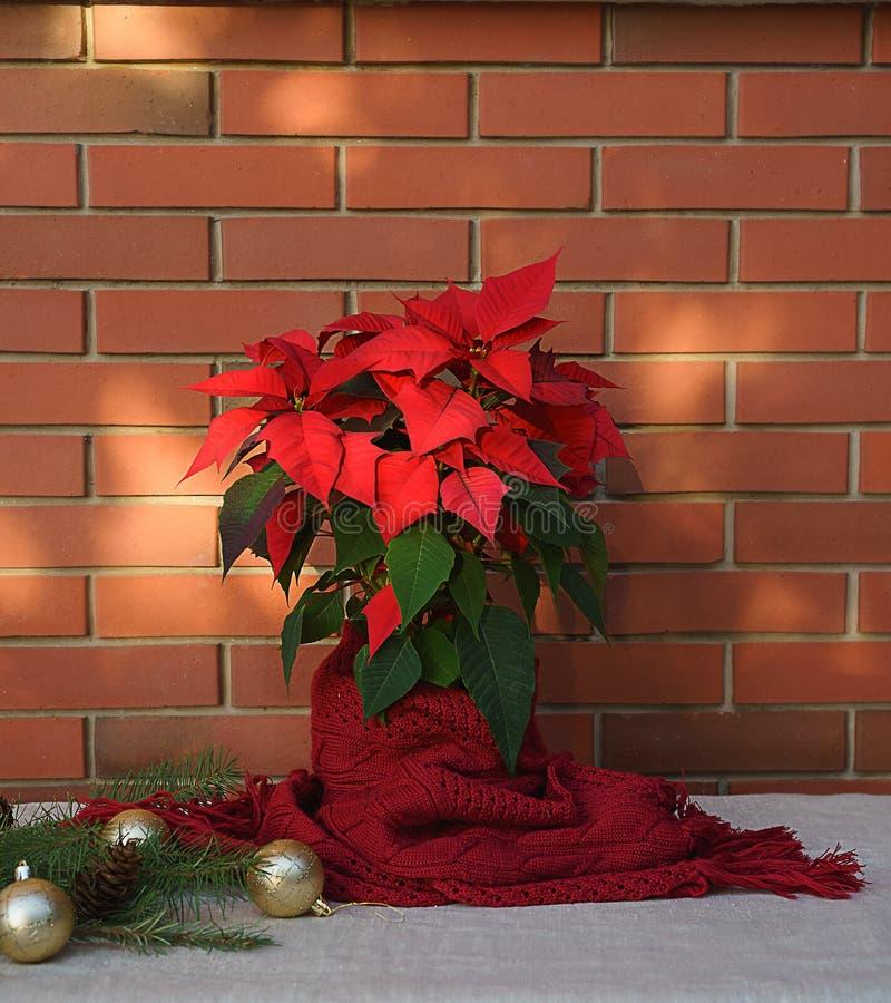 Flor de la poinsetia de la Navidad, euforbio Pulcherrima envueltos en bufanda roja y decoraciones en la tabla de madera en la par fotos de archivo libres de regalías