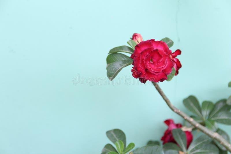 Flor de la porcelana imagenes de archivo