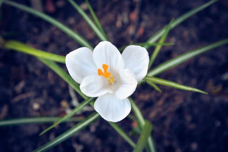 Flor de la primavera del azafrán fotos de archivo