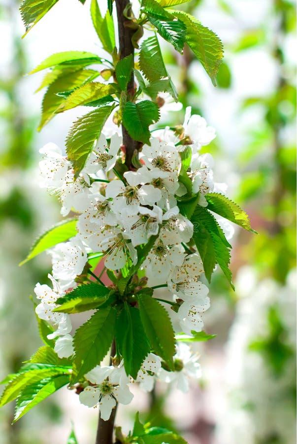 Flor de la primavera del cerezo contra el cielo azul imagen de archivo libre de regalías