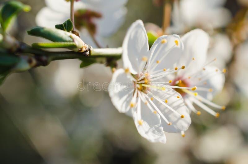 Flor de la primavera del ciruelo imagenes de archivo
