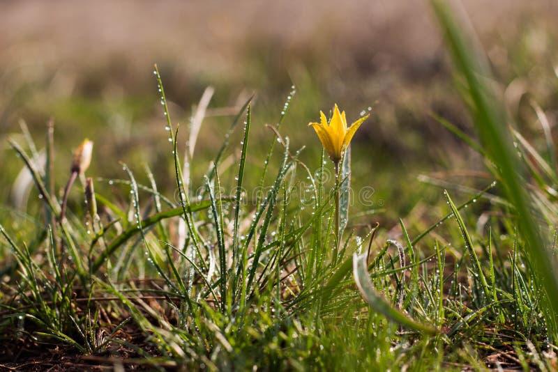 flor de la primavera del lutea de Gagea o del primer de las cebollas del ganso Estrella-De-Belén amarillo, descensos del agua fotografía de archivo
