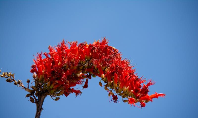 Flor de la primavera del Ocotillo imagen de archivo