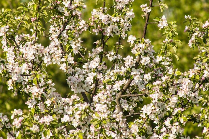 Flor de la primavera: rama de un manzano floreciente en fondo del jardín fotografía de archivo