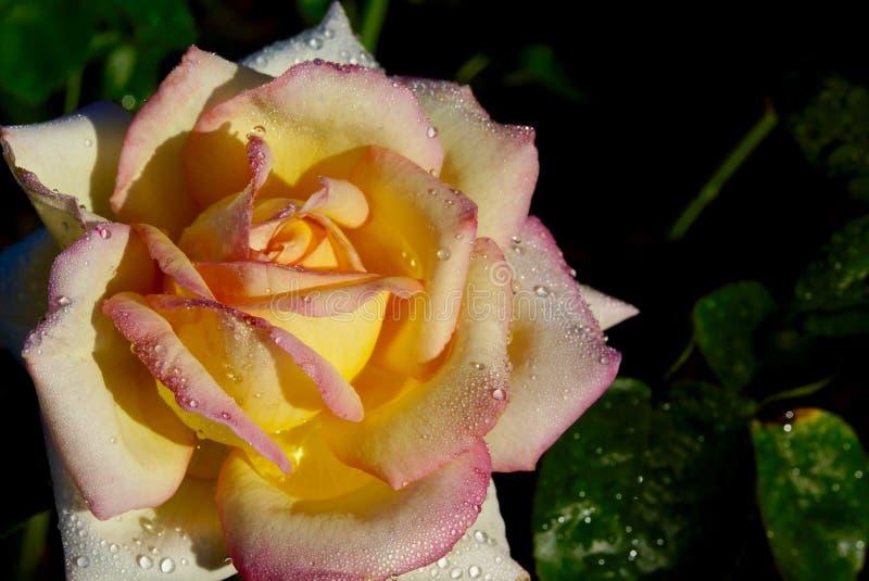 Flor de la rosa del amarillo con los pedales rosados del borde fotografía de archivo