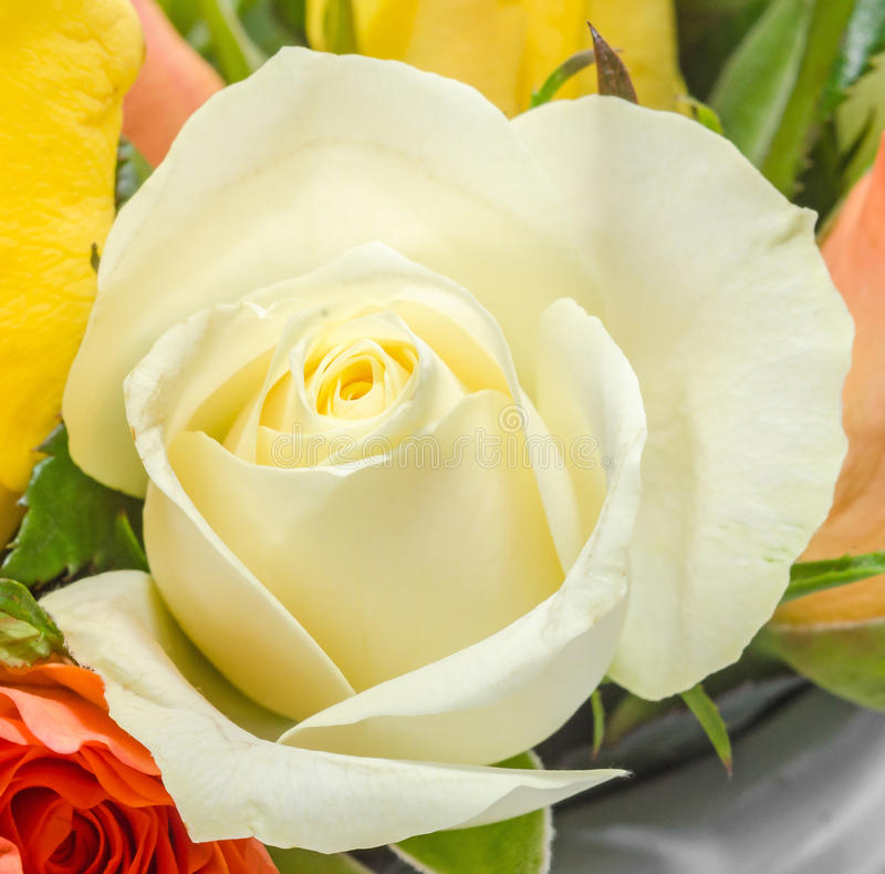 Flor de la rosa del blanco, detalles, cierre para arriba, macro fotos de archivo libres de regalías