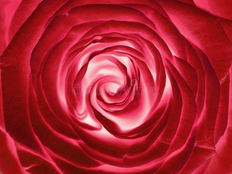 Flor de la rosa del rojo, cierre para arriba fotografía de archivo libre de regalías