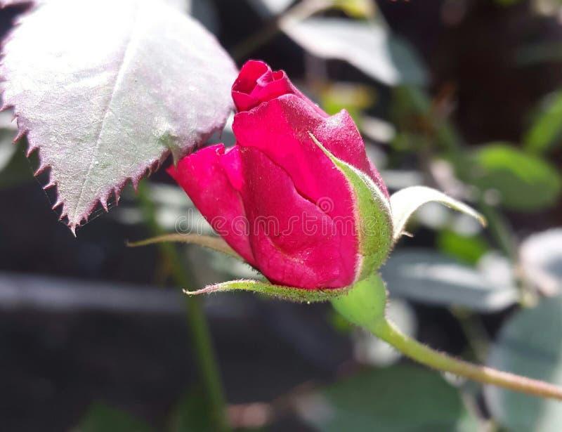 Flor de la rosa del rojo en la fase inicial de vida imagen de archivo