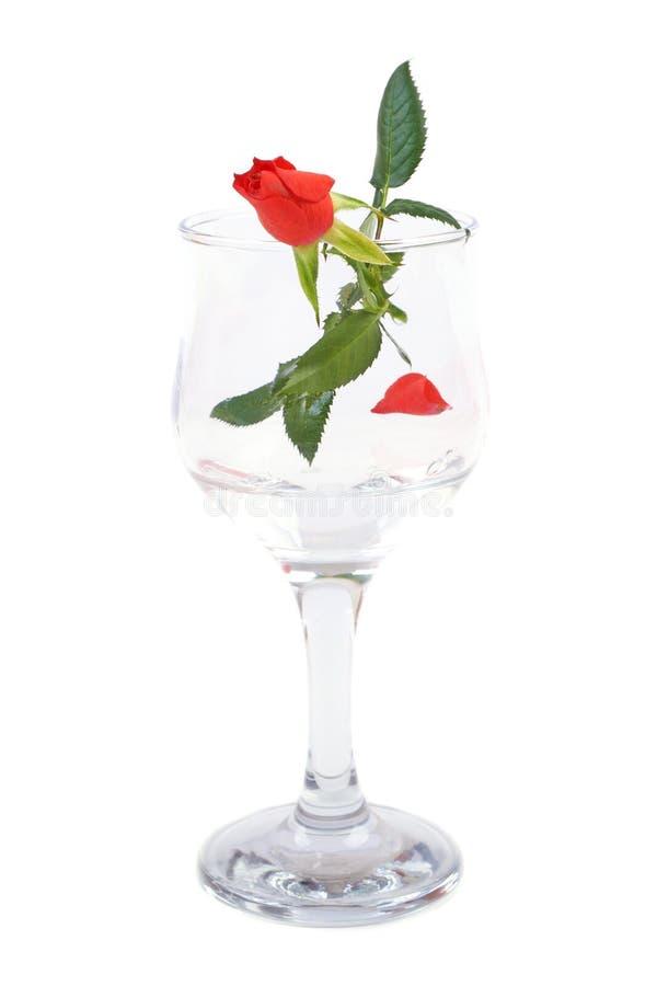 Flor de la rosa del rojo en la copa aislada imagenes de archivo