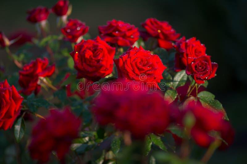 Flor de la rosa del rojo en rama con descensos del rocío en jardín fotografía de archivo libre de regalías