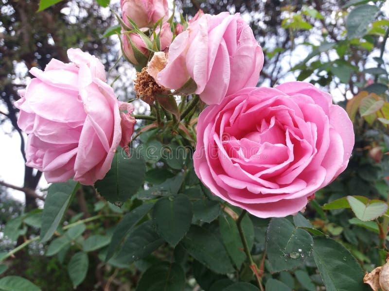 Flor de la rosa del rojo y del blanco imagen de archivo