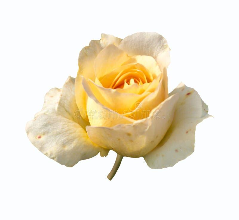 Flor de la rosa en el fondo blanco foto de archivo