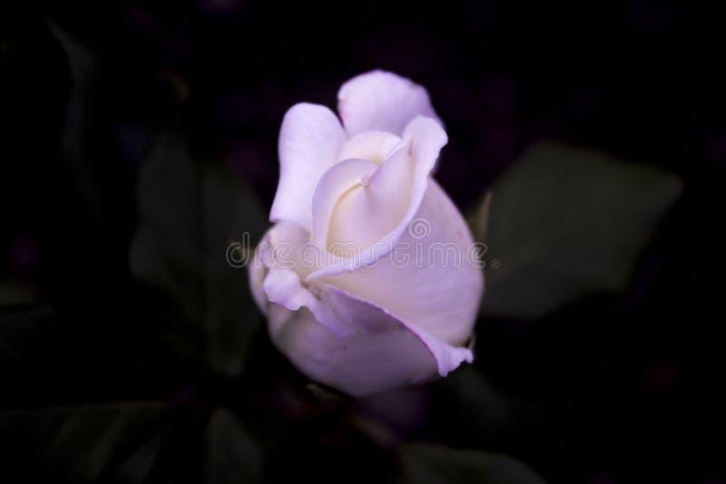 Flor de la Rose fotografía de archivo