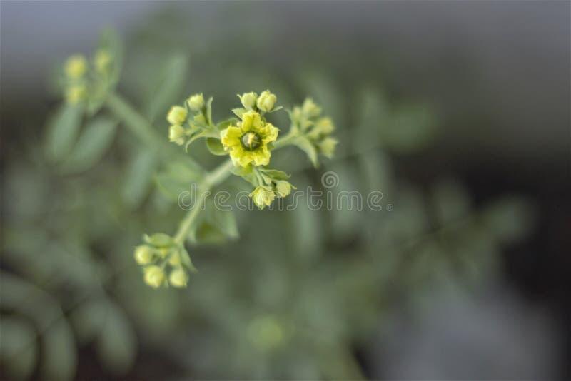 Flor de la ruda imagen de archivo