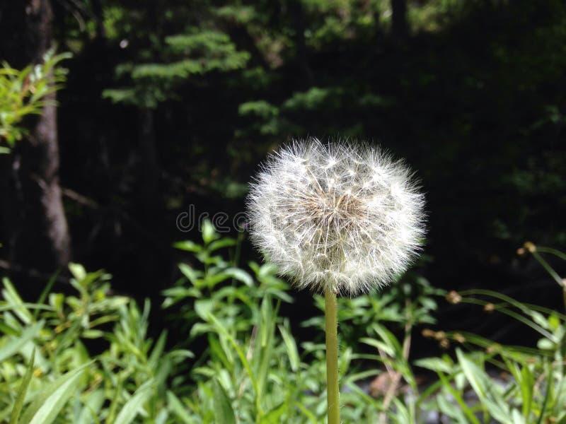 Flor de la semilla imagenes de archivo