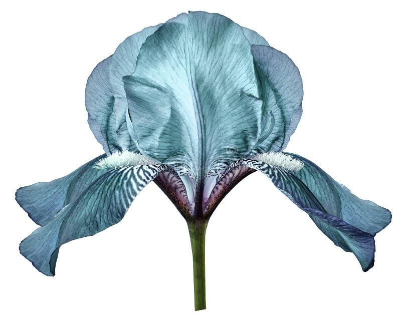 Flor de la turquesa del iris en el fondo aislado blanco con la trayectoria de recortes primer foto de archivo