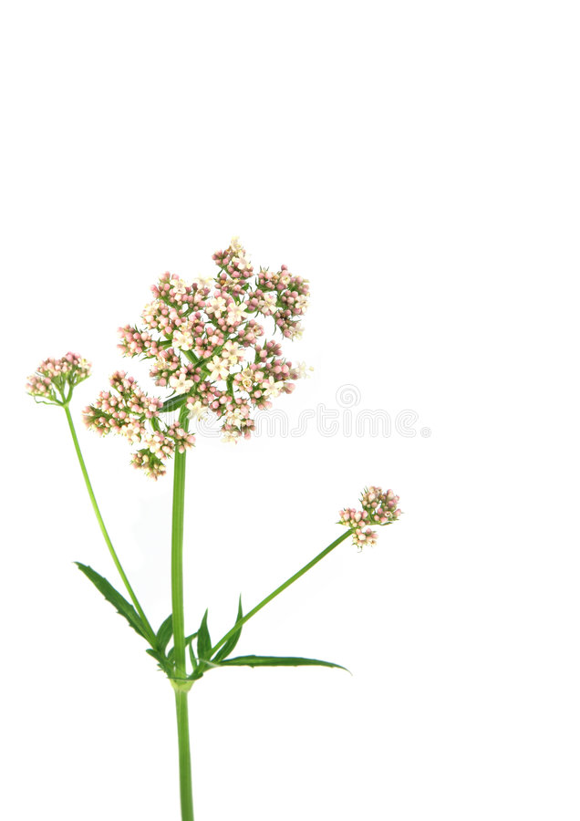 Flor de la valeriana fotografía de archivo libre de regalías