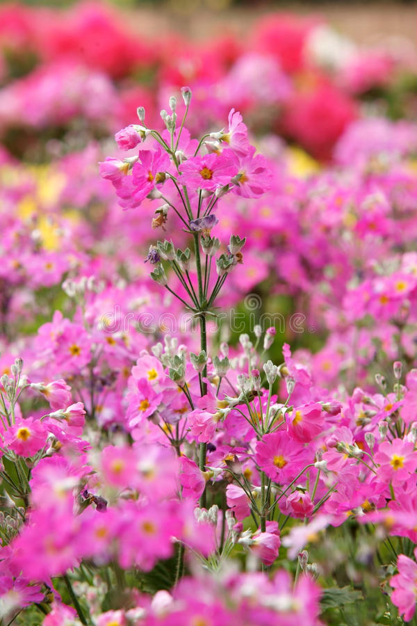 Flor de la verbena del jardín fotografía de archivo libre de regalías