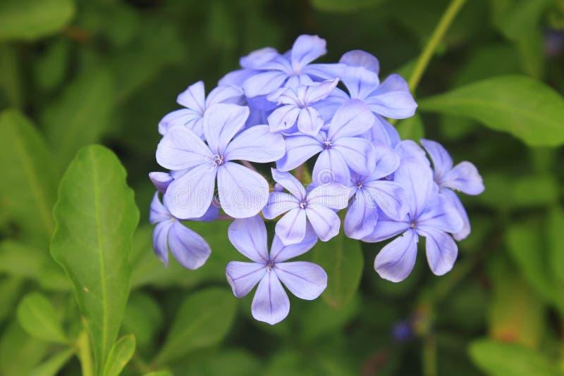 Flor de la verbena en jardín imagenes de archivo