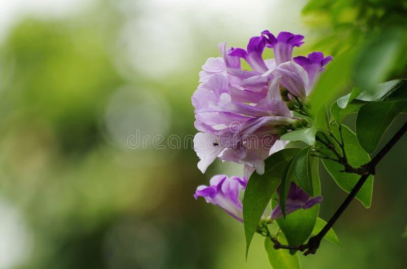 Flor de la vid del ajo foto de archivo libre de regalías