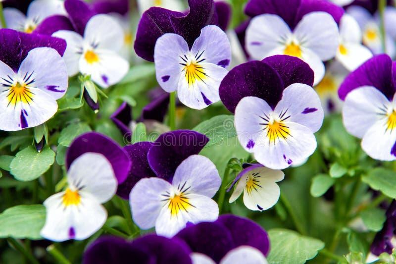 Flor de la viola de Heartsease Género de la viola de las plantas de florecimiento en violaceae de la familia violeta Flor magnífi fotos de archivo