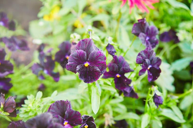 Flor de la viola tricolora foto de archivo