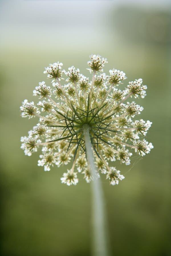 Flor de la zanahoria salvaje. imagen de archivo libre de regalías