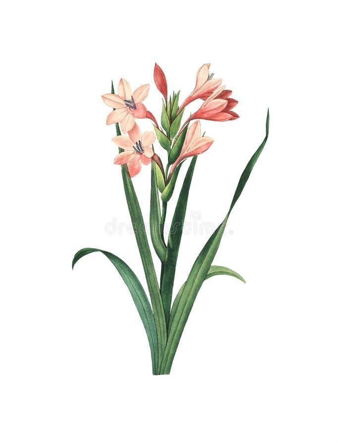 Flor de Laccatus do tipo de flor ilustração royalty free