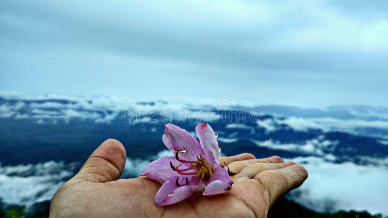 Flor de las edelweiss en la cima de la montaña de Burni Telong fotos de archivo