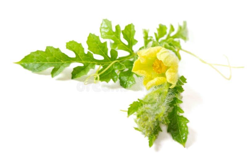Flor de las sandías imagen de archivo libre de regalías