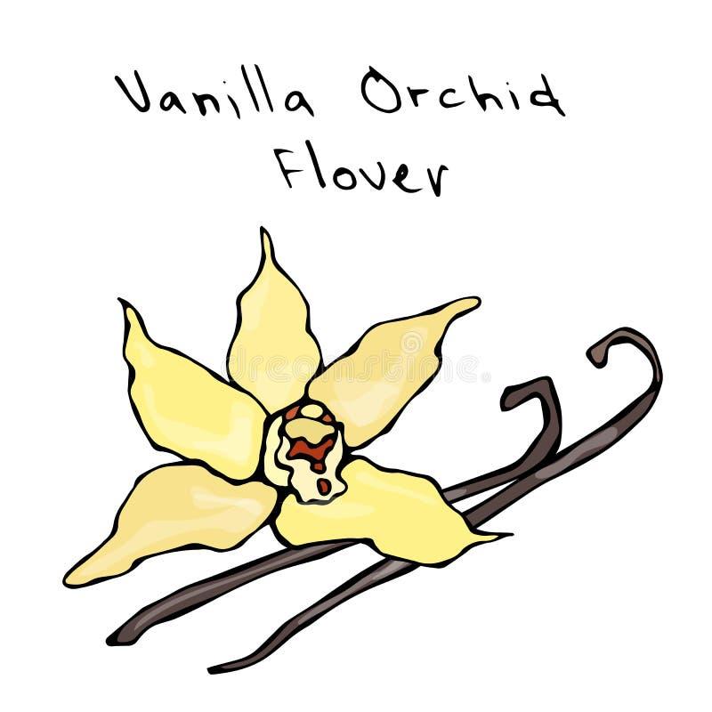 Flor de las vainas o de los palillos y de vainilla de la orquídea de la vainilla Ilustración del vector aislada en un fondo blanc libre illustration