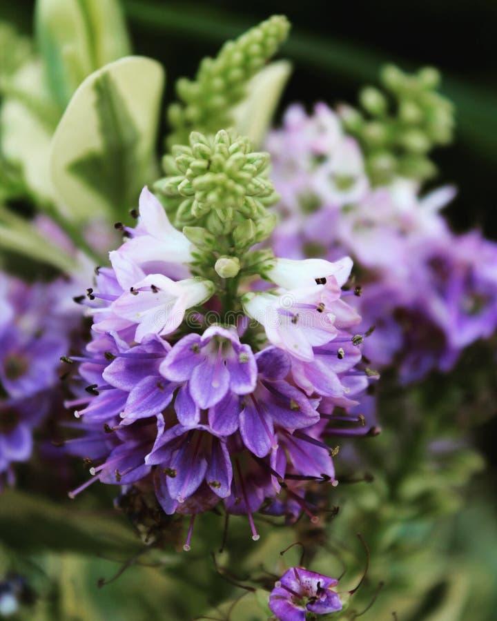 Flor de Lavanda imagens de stock