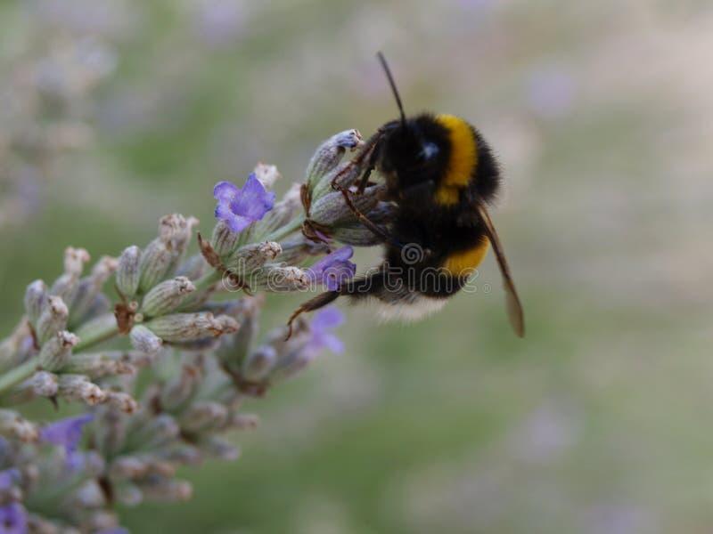 Flor de Lavendel imagens de stock