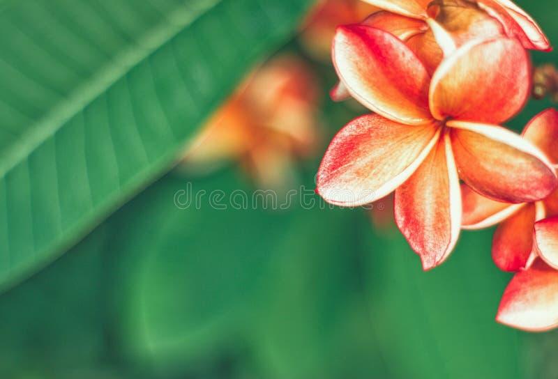 Flor de Leelawadee fotografía de archivo