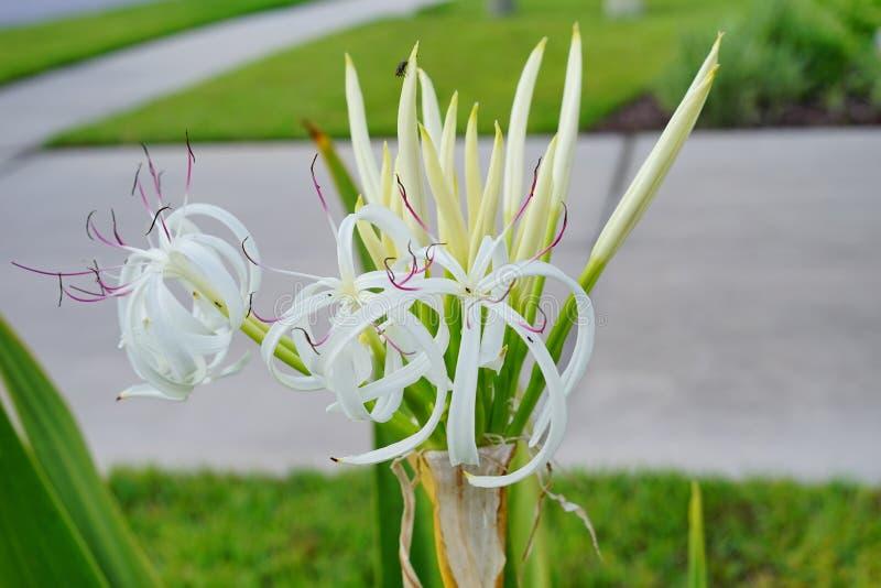 Flor de Lili fotos de archivo