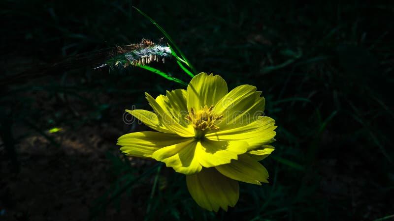 Flor de Lili amarilla en la tarde en un bosque profundoPequeña cantidad de luz solar cayendo sobre la flor fotos de archivo libres de regalías