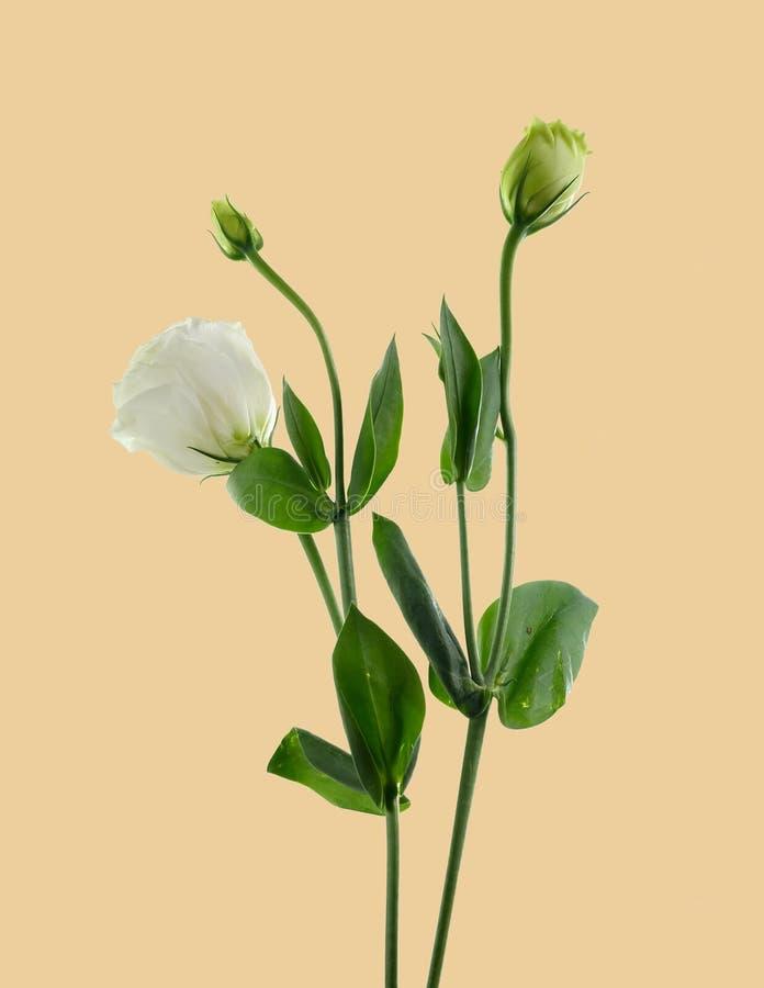 Flor de Lisianthus imágenes de archivo libres de regalías