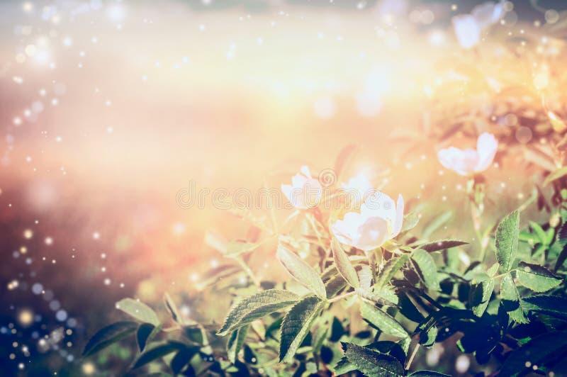 Flor de los escaramujos blancos sobre fondo de la naturaleza de la puesta del sol fotos de archivo