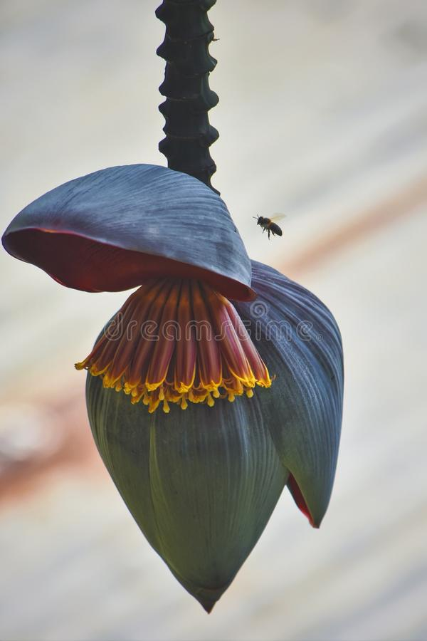 Flor de los plátanos foto de archivo libre de regalías