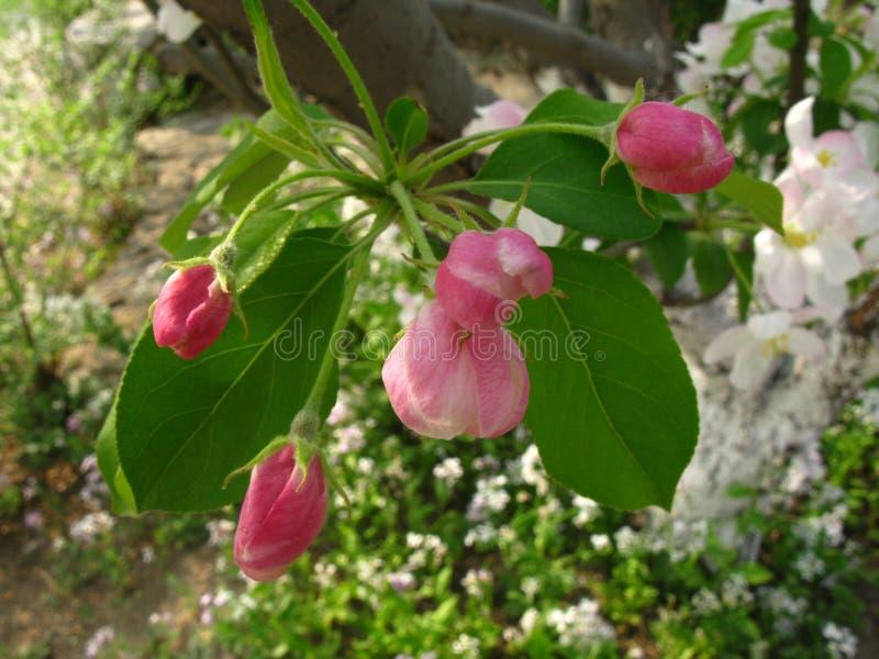Flor de los spectabilis del Malus fotografía de archivo